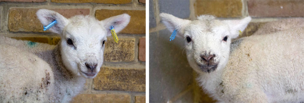 Meet our new orphan lambs.