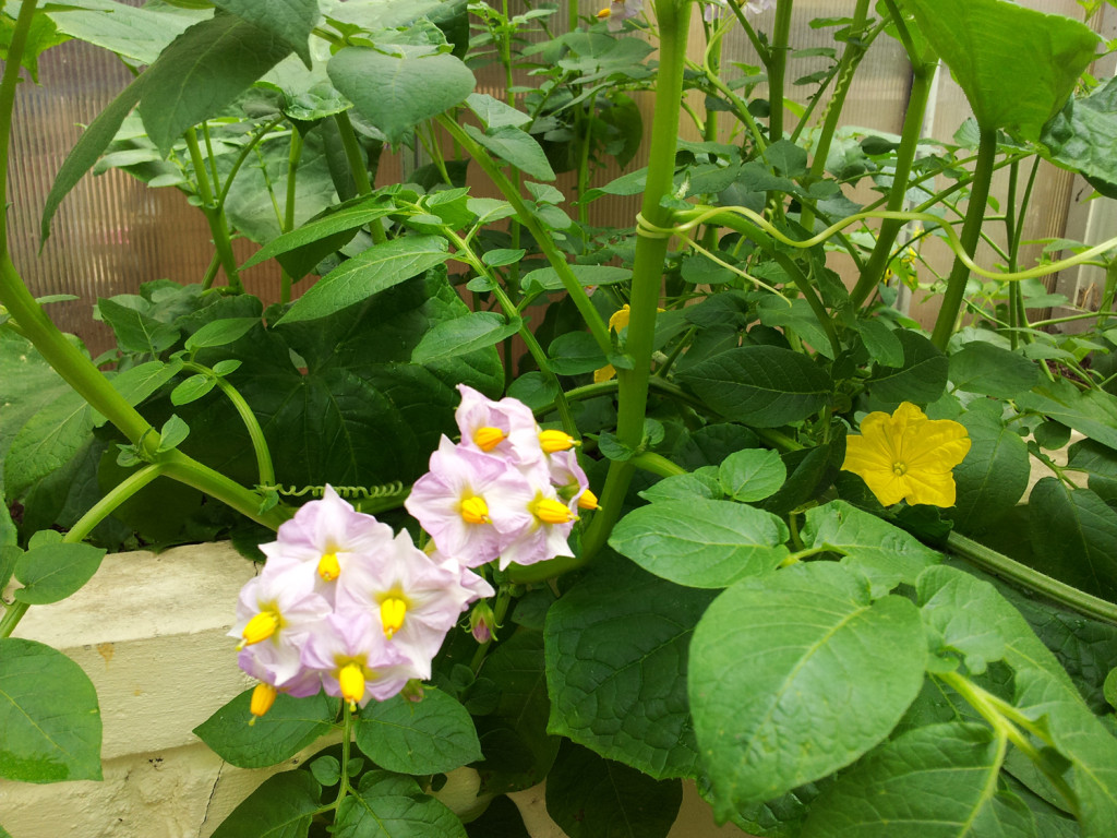 Potatoes and courgettes in flower.