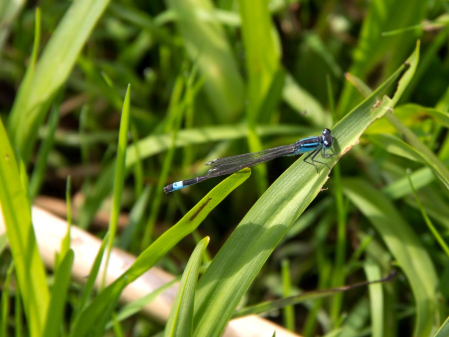 Azure damselflies should be regulars on the pond in the month to come.