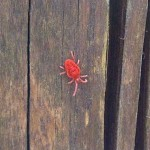 A red spider mite emerges from crevices in a fencepost.