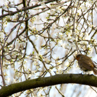 A robin among the cherry blossom.