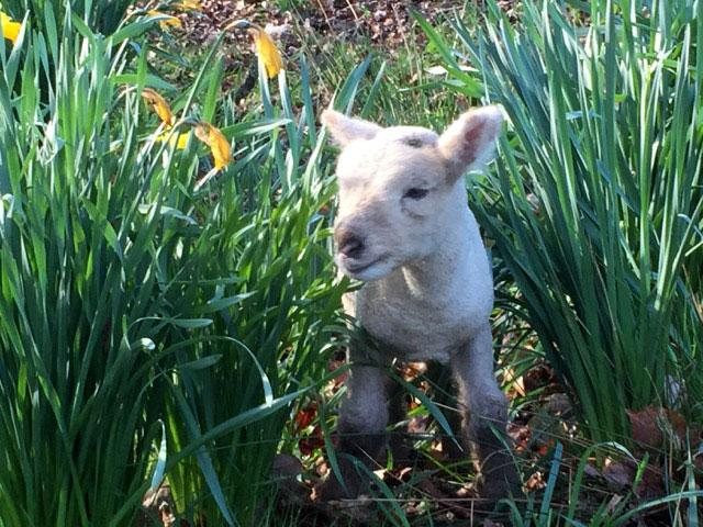 Enya among the daffodils at just a few days old.