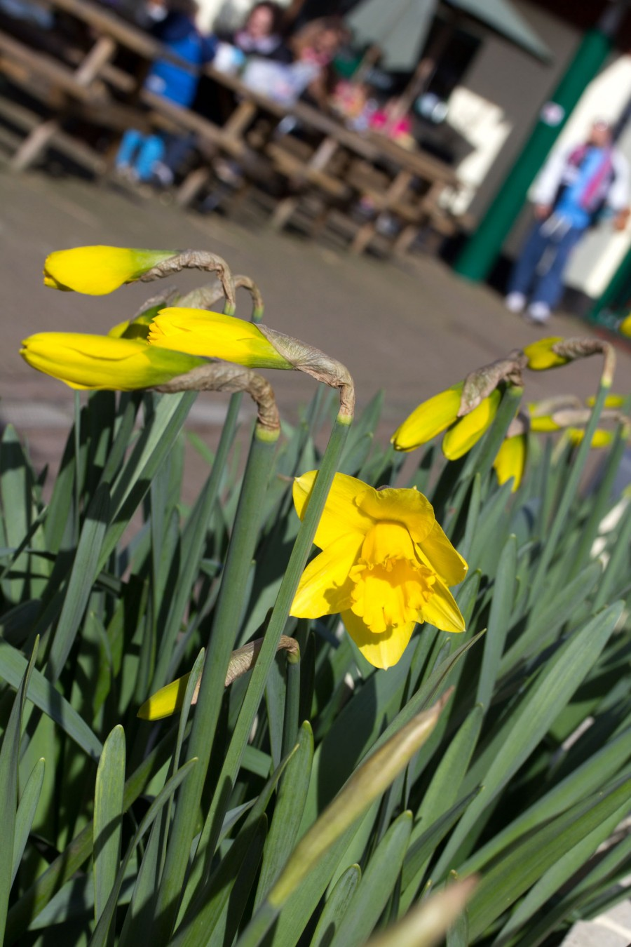 Daffodils in flower in the main courtyard.