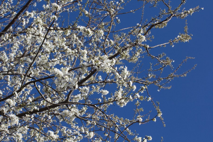 Cherry blossoms against a bright blue sky.