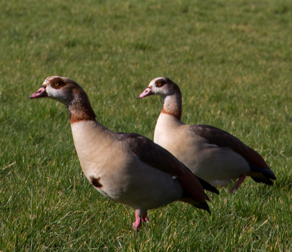 A pair of Egyptian Geese are now regular visitors to the playing field.