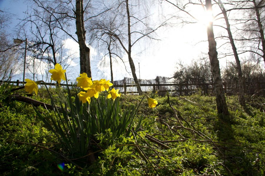 Daffodils can be spotted across the farm.