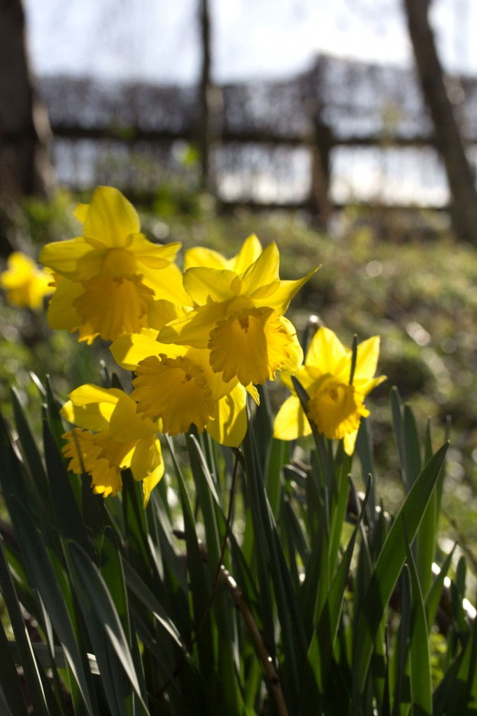 Daffodils in the sunshine.