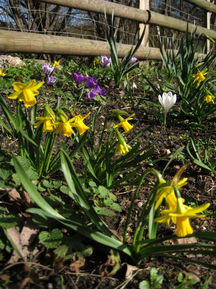 Crocuses and daffodils in flower.