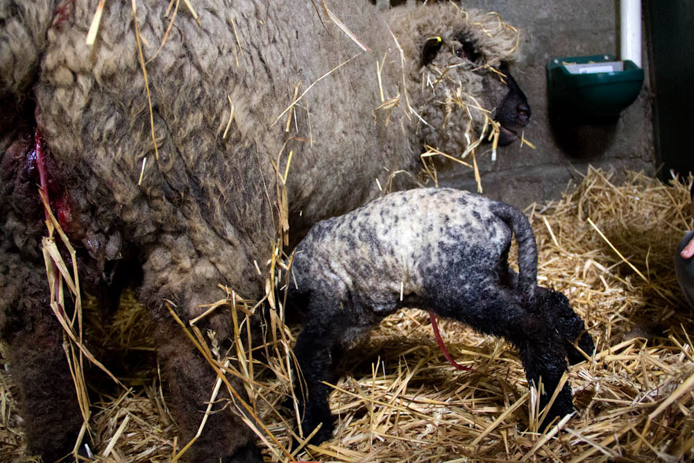 The newborn lambs are up on their feet in no time at all!
