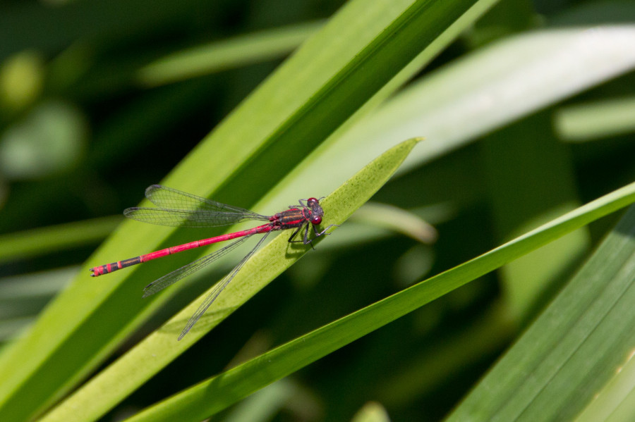 A red damselfly on our ponds.