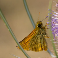 A Skipper butterfly on Teasel.