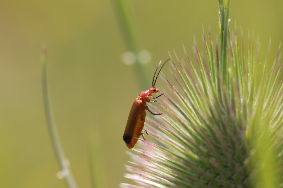 A Soldier beetle on Teasel.