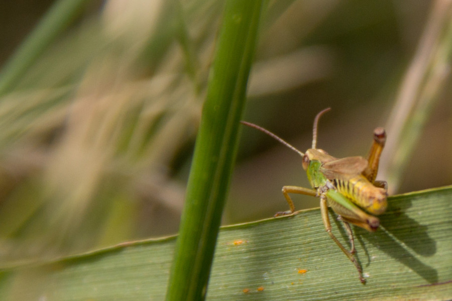 A typically coloured meadow grasshopper.
