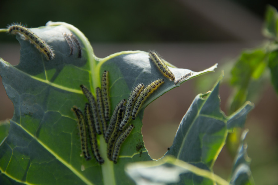 A hoard of hungry caterpillars of the Large White butterfly.