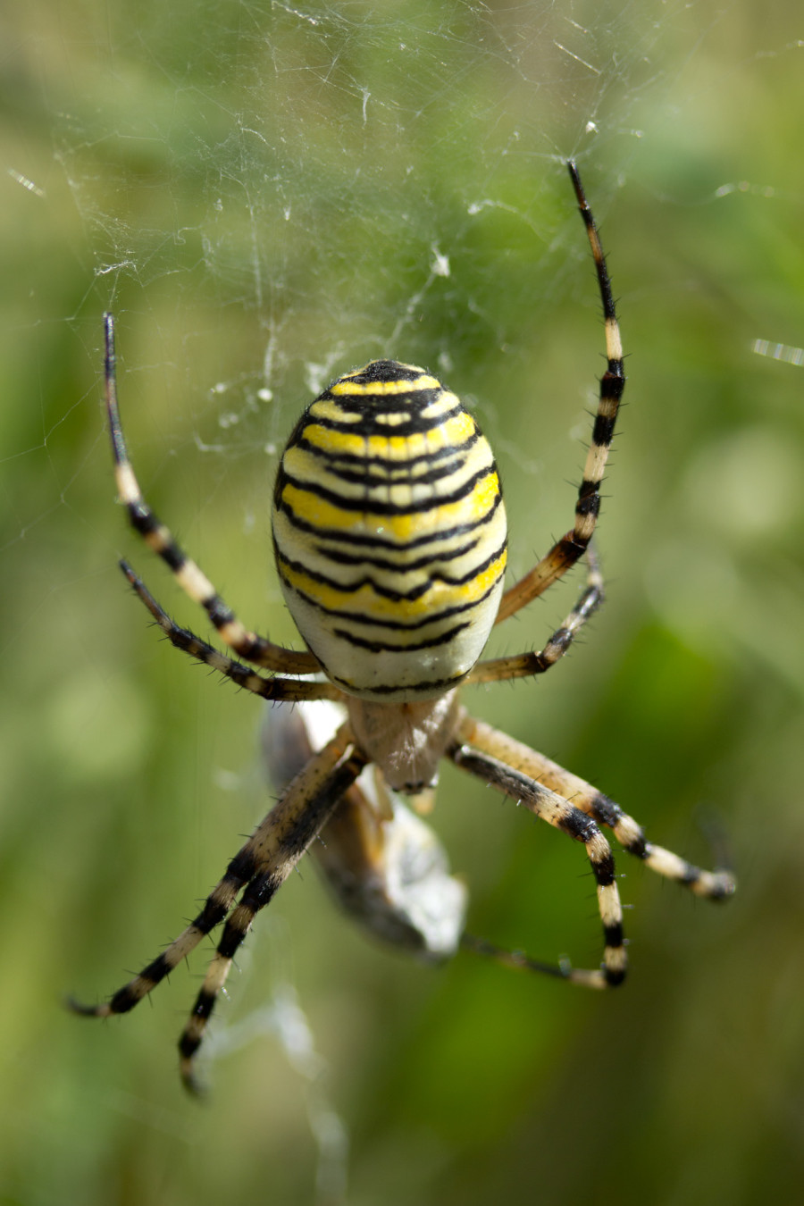 A large wasp spider, whose favourite prey include grasshoppers!
