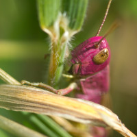 A rare pink variant of the Meadow Grasshopper.