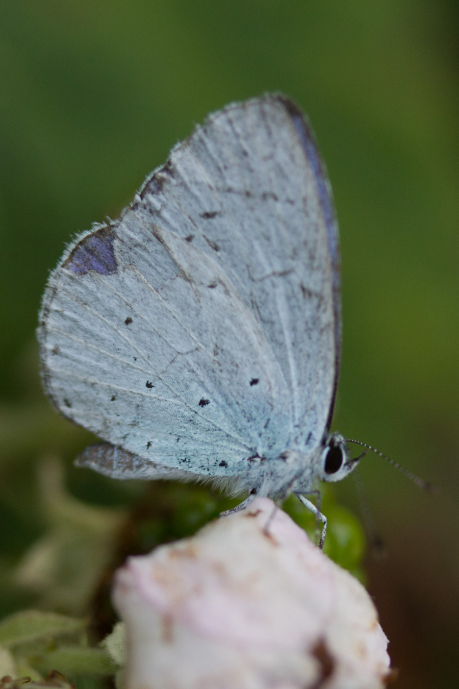 Blue butterflies have been spotted across the farm.