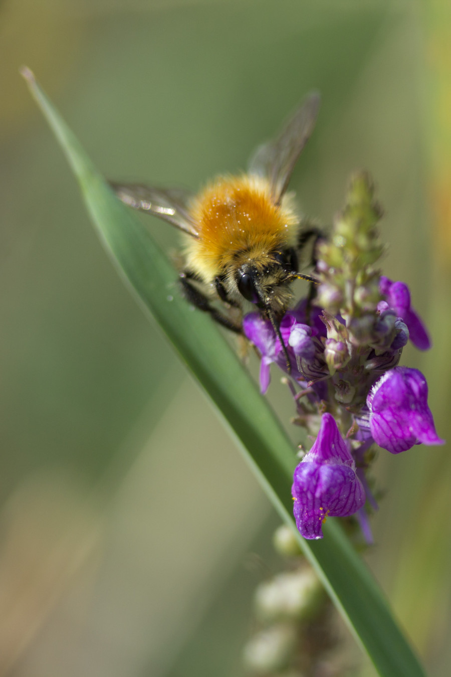 Keep an eye our for many bumblebee species that live and breed at Mudchute.