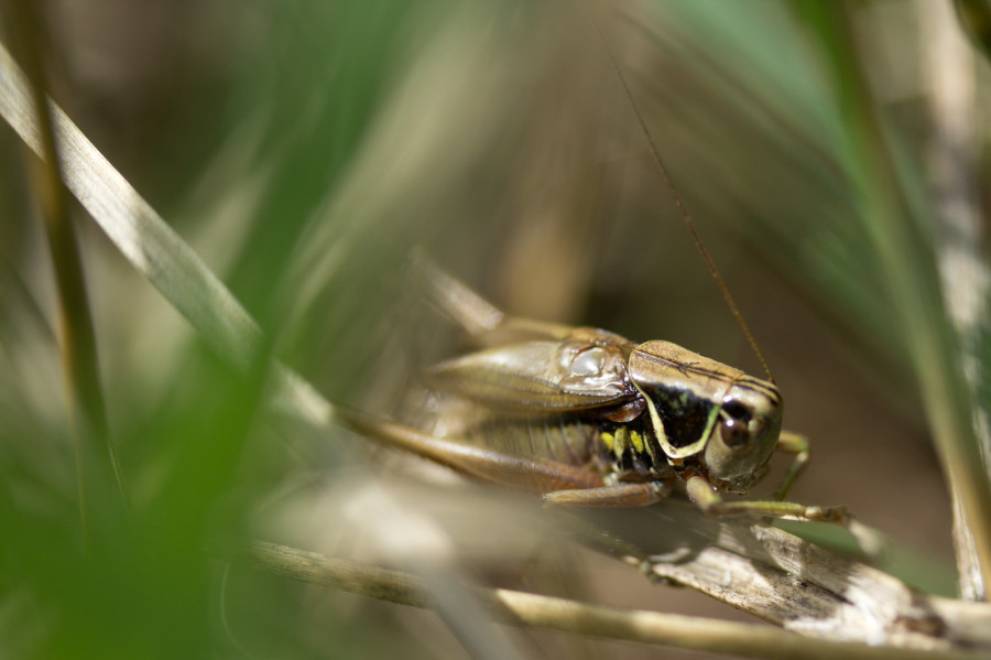 The elegant Roesel's Bush Cricket is one of several bush crickets that you may see and hear on the farm.