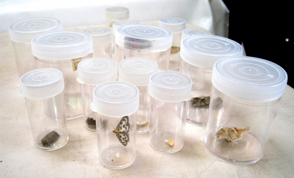 Moths as they are photographed and counted before being released