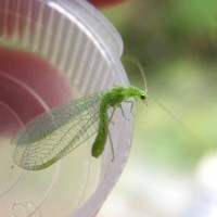 Moths were not our only visitors. This was one of several lacewings we found in the trap.