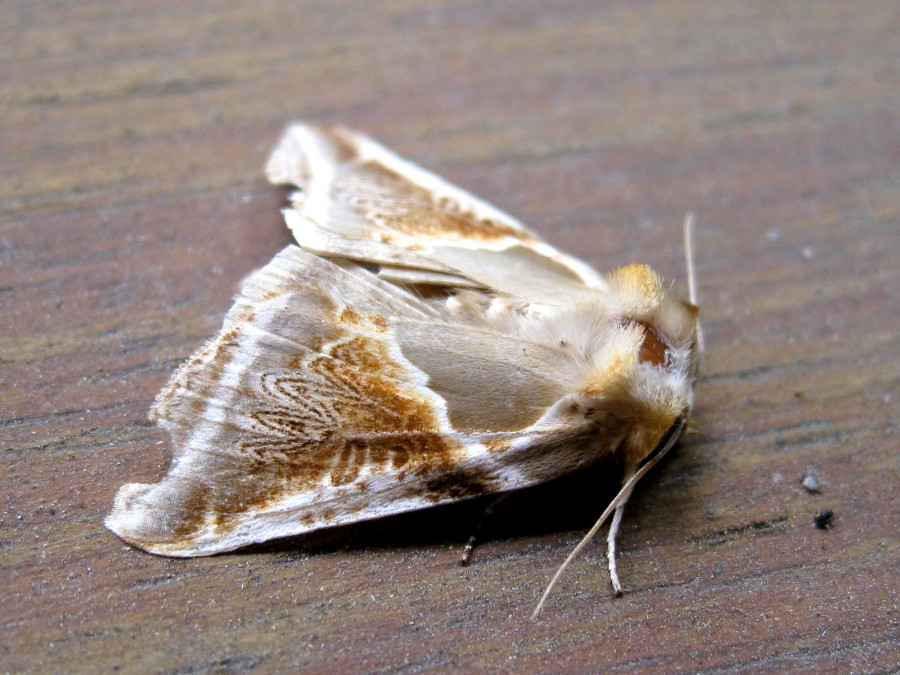 A Buff Arches (Habrosyne pyritoides) moth whose caterpillars feed on brambles.