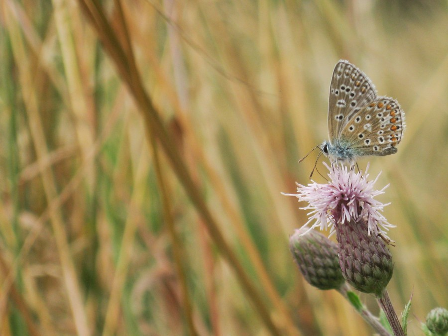 A common blue butterfly.
