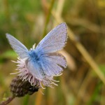 A flash of blue as the wings of the common blue open.