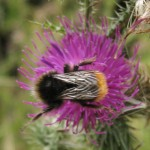 Bumblebees can still be found actively foraging around the farm.