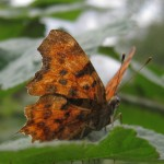 A comma butterfly. Butterflies can still be found across the farm.