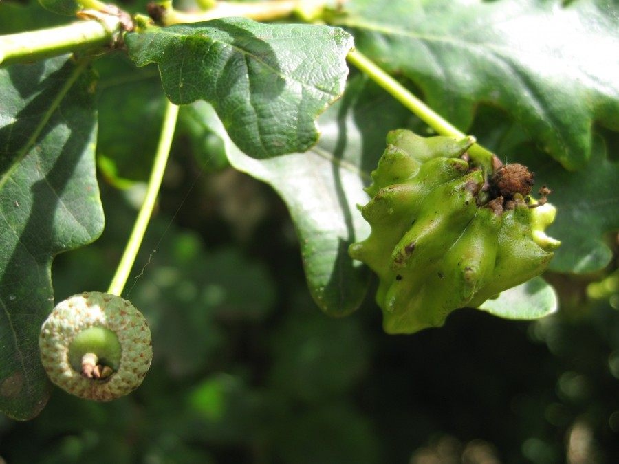 A galled acorn in the foreground with healthy acorn behind.