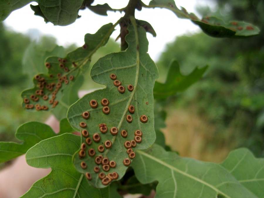 Oak leaves are also hosts to galls like these button galls.