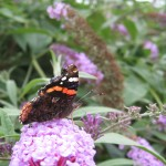 A red admiral butterfly feeds on nectar-rich buddleia.