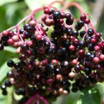 Elderberries are now ripening, turning shiny and black.