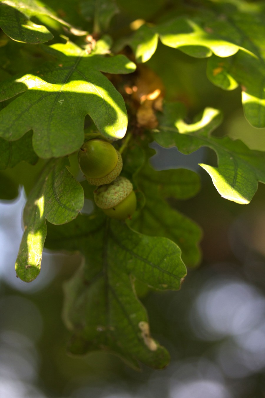 Acorns are forming on oak trees.