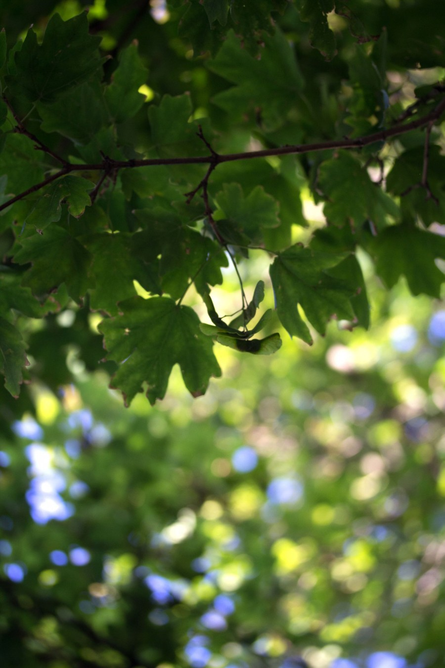 Seeds of the maple are also dispersed with the help of the wind.