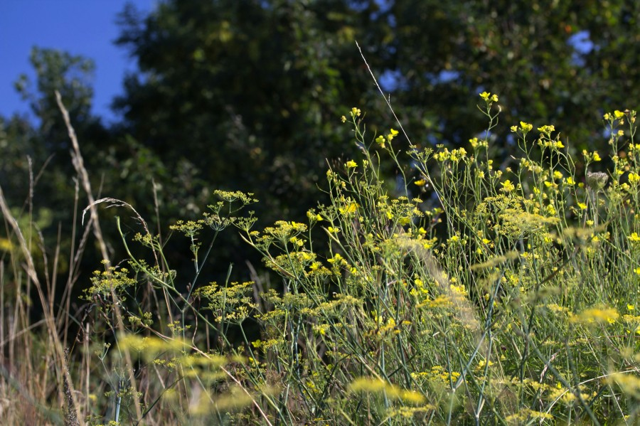 Fennel in flower.