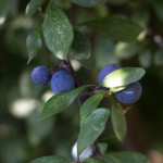 Sloes are forming on many blackthorn bushes.