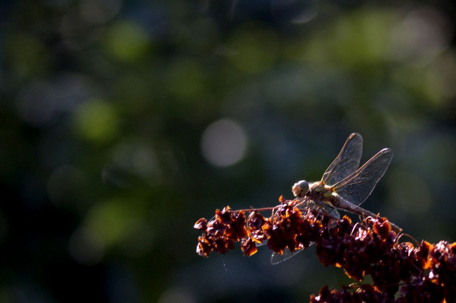A dragonfly resting. These insects hunt for small invertebrates on the wing.
