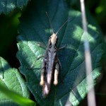 Grasshoppers and bushcrickets are thriving in the warm weather.