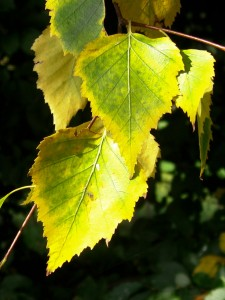 Poplar is among the first trees taking on autumnal colour.
