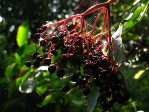 Elderberries are among the many fruits ripening this month.