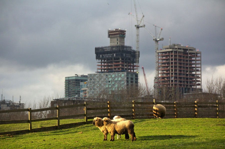 Sheep and skyscrapers.