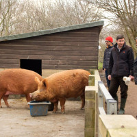 Meeting some of our Tamworth pigs.