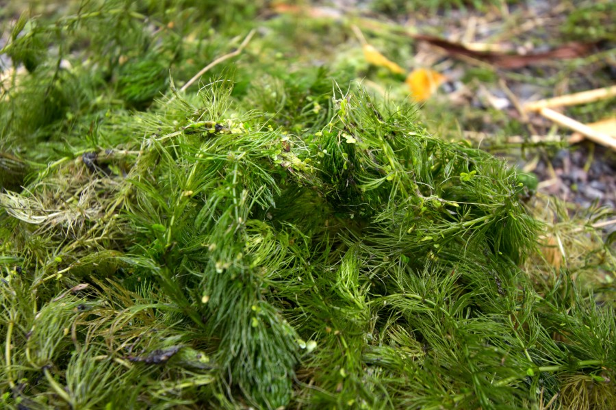 Rigid hornwort, a native species we hope to encourage by removing invasive species.