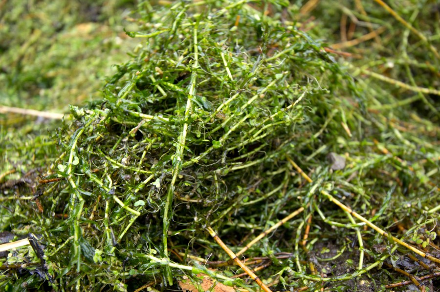 Invasive Canadian  pondweed species can choke up the pond to the detriment of native species.