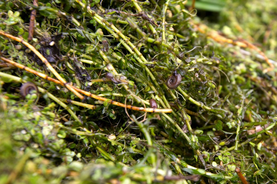 Snails, diving beetles, amphipods and spiders are among the many invertebrates that live in the pondweed.