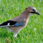 The Jay (Garrulus glandarius) is a colorful relative of the Magpie and Crow family. Photo by David Darrell-Lambert.
