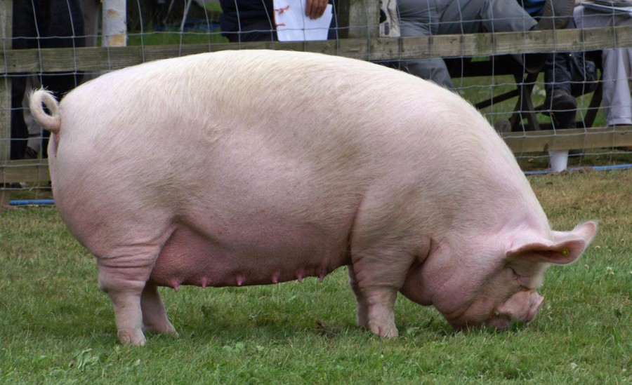 An adult middle white sow.