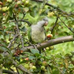 A monk parakeet feeding on crabapples.